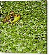 Frog In Duckweed Acrylic Print