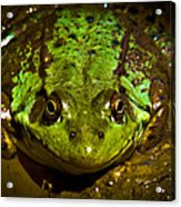 Frog In Mud Acrylic Print