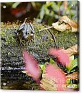Frog On Log 1 Of 3 Acrylic Print