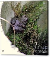 Frog On Moss On Wall Acrylic Print