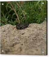 Frog On Rock Acrylic Print by Corina Bishop