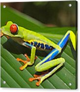 Frog Paintings Acrylic Print