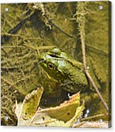 Frog Thinks He's Hidden Under A Twig Acrylic Print