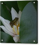Frog Tucked In A Water Lily Acrylic Print