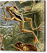 Frogs Detail Acrylic Print