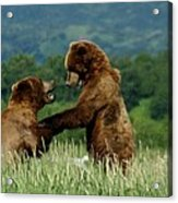 Frolicking Grizzly Bears Acrylic Print