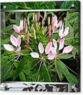 From Bud To Bloom - Cleome Named Pink Queen Acrylic Print