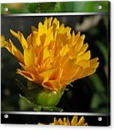 From Bud To Bloom - Coreopsis Named Early Sunrise Acrylic Print