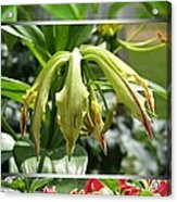 From Bud To Bloom - Gloriosa Named Rothschildiana Acrylic Print