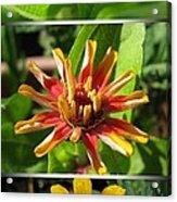 From Bud To Bloom - Zinnia Acrylic Print