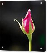 From Darkness Rose Acrylic Print
