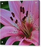 From My Flower Garden Acrylic Print by Victoria Sheldon