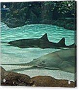 From The Deep - Sawtooth Ray Sharks Acrylic Print