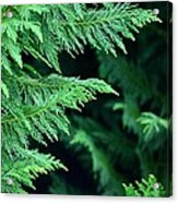Fronds Of The Leyland Cypress Acrylic Print