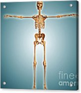 Front View Of Human Skeletal System Acrylic Print
