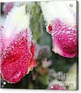 Frost Bears Down On Snapdragon Named Floral Showers Red And Yellow Bicolour Acrylic Print