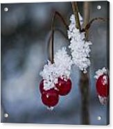Frost Berries Acrylic Print