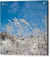 Frost Covered Grasses Against The Sky Acrylic Print
