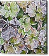 Frost On Waldsteinia Leaves. Acrylic Print