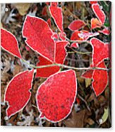 Frosted Blueberry Leaves Acrylic Print