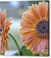 Frosted Gerberas Acrylic Print