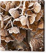 Frosted Hydrangea Acrylic Print