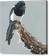 Frosted Magpie- Abstract Acrylic Print