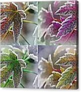 Frosted Maple Leaves In Warm Shades Acrylic Print
