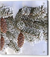 Frosted Pine Tree And Cones 1 Acrylic Print