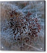 Frosted Rugosa Acrylic Print