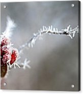 Frosty Berries Acrylic Print