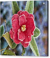 Frosty Camellia - Phone Case Design Acrylic Print