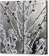 Frosty Field Plant Acrylic Print