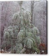 Frosty Pine Acrylic Print