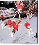 Frosty Rosehips Acrylic Print