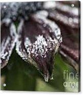Frosty Rudbeckia Acrylic Print