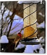 Frozen Feeder And Disappointment Acrylic Print