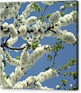Fruit Tree Blooms Acrylic Print