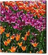 Fruity Tulips Acrylic Print