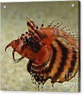 Fu Manchu Lionfish Acrylic Print