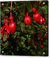 Fuchsia  Bells Acrylic Print
