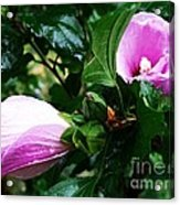 Fuchsia Flowers Laced In Droplets Acrylic Print