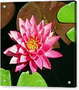 Fuchsia Pink Water Lilly Flower Floating In Pond Acrylic Print