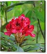 Fuchsia Rhododendron Moore State Park Acrylic Print