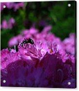 Fuchsia Sweetness Acrylic Print