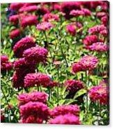 Fuchsia Zinnia Acrylic Print