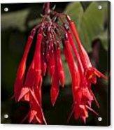 Fucshia Red Flower Acrylic Print