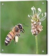 Full Basket Of Plantain Pollen Acrylic Print
