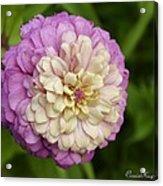 Zinnia In Full Bloom Acrylic Print