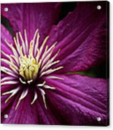 Full Bloom Clematis  Acrylic Print